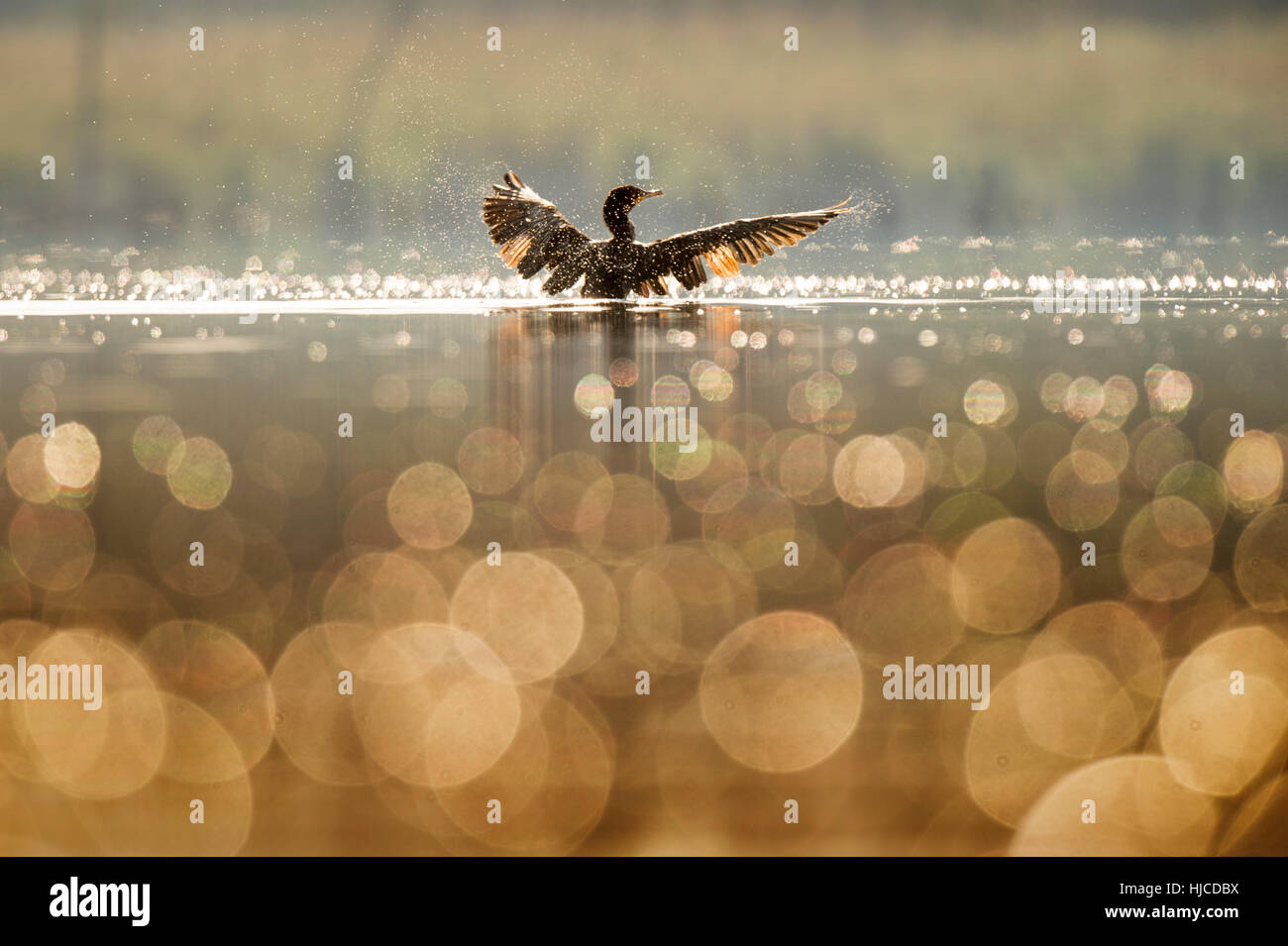 A Double-crested Cormorant flaps its wings dry as the early morning sun lights up the bird and small bubbles on - Stock Image