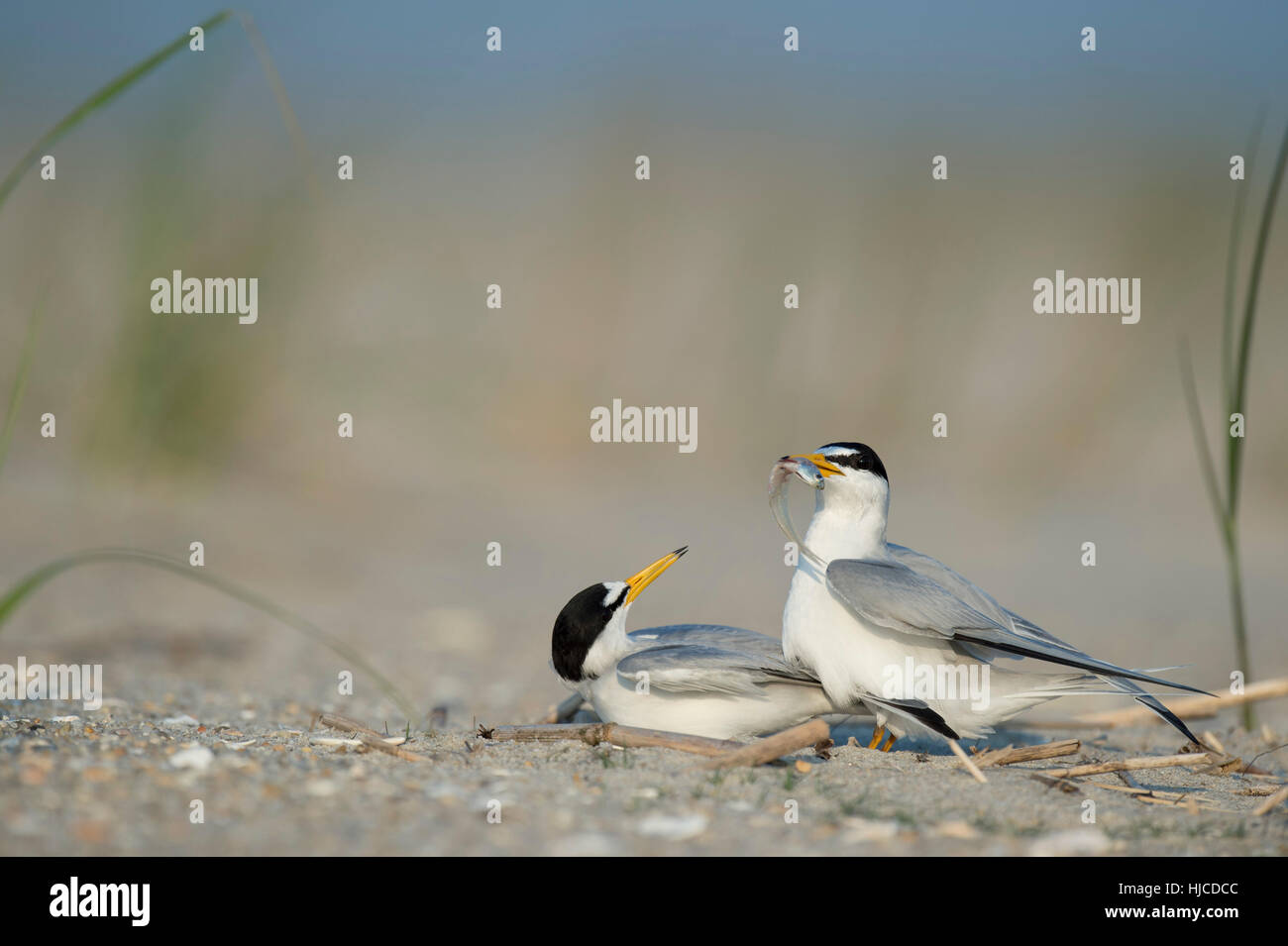 A pair of Least Terns perform a courtship ritual as the male shows off a fish to the female bird on a sandy beach. - Stock Image