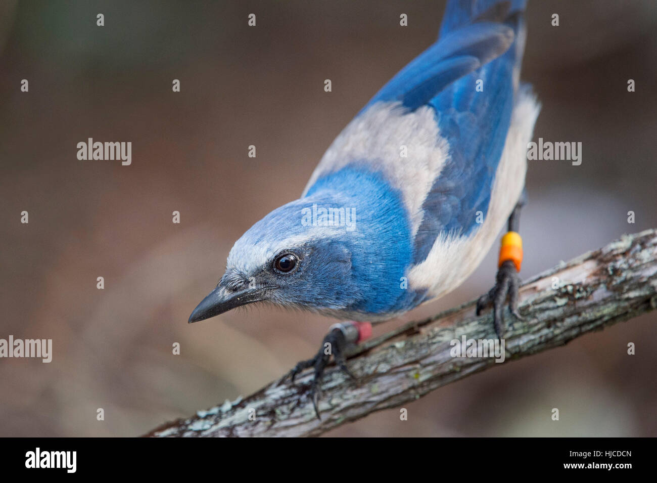 A close up of a curious Florida Scrub Jay perched on a branch. Stock Photo