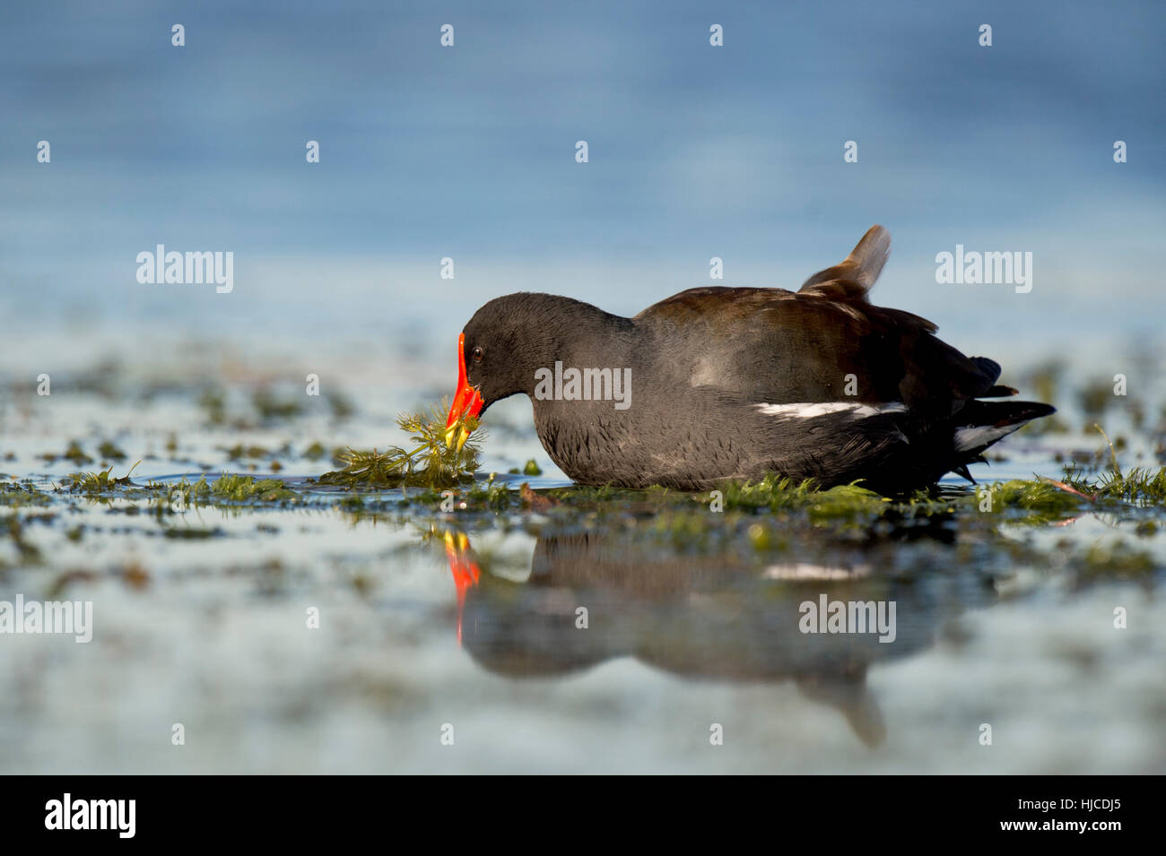 A Common Gallinule feeds on water vegetation in the shallow water with a reflection of the bird. Stock Photo