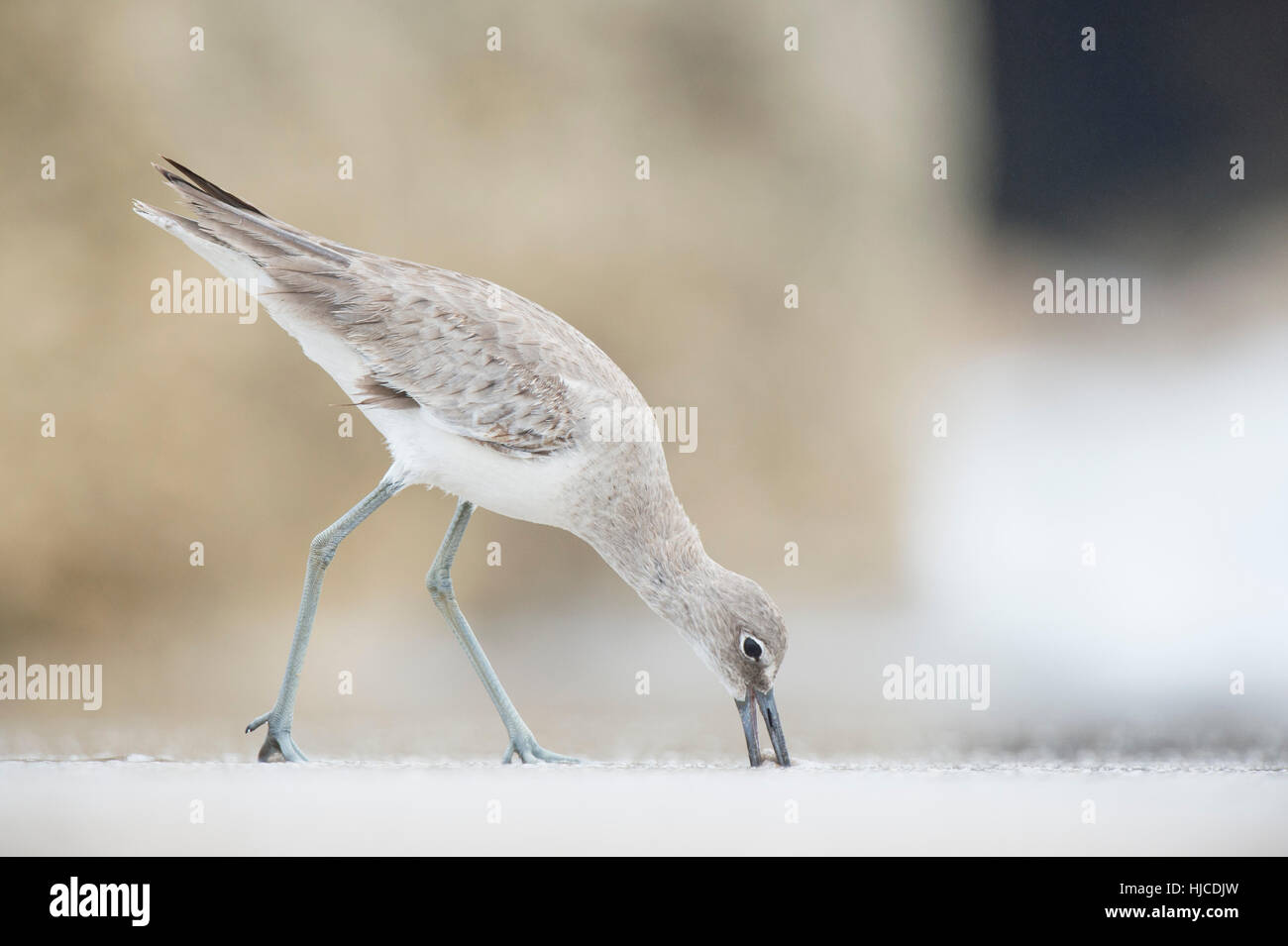 A Willet is feeding with its beak in the sand on the beach under overcast light. - Stock Image