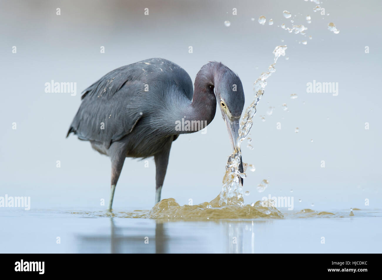 A Little Blue Heron grabs a fish out of the shallow water and creates a large splash of water. - Stock Image