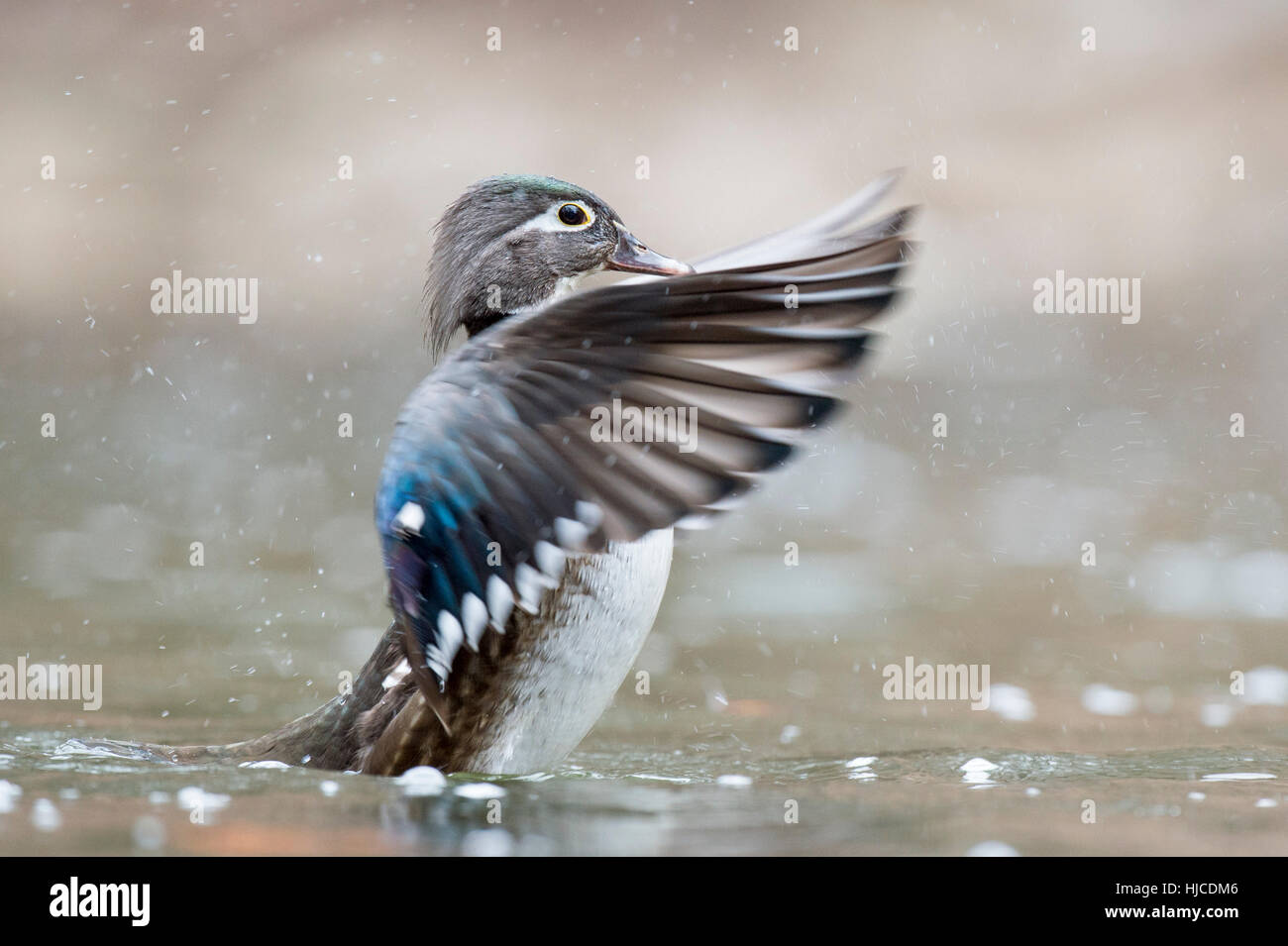 A female Wood Duck flaps her wings to dry off a bit - Stock Image