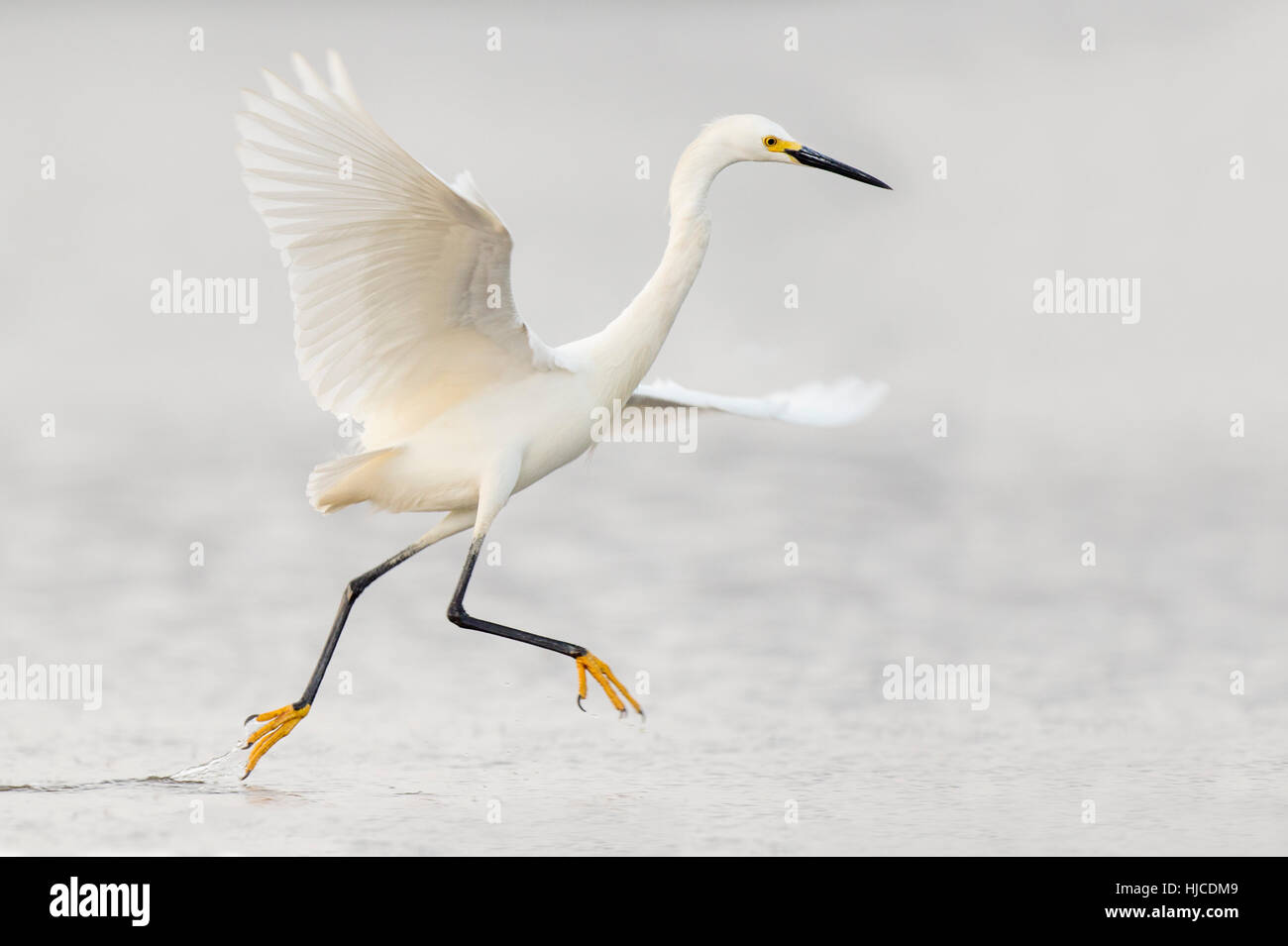 A Snowy Egret jumps and flaps around as it searches for food in the shallow water on an overcast day. - Stock Image