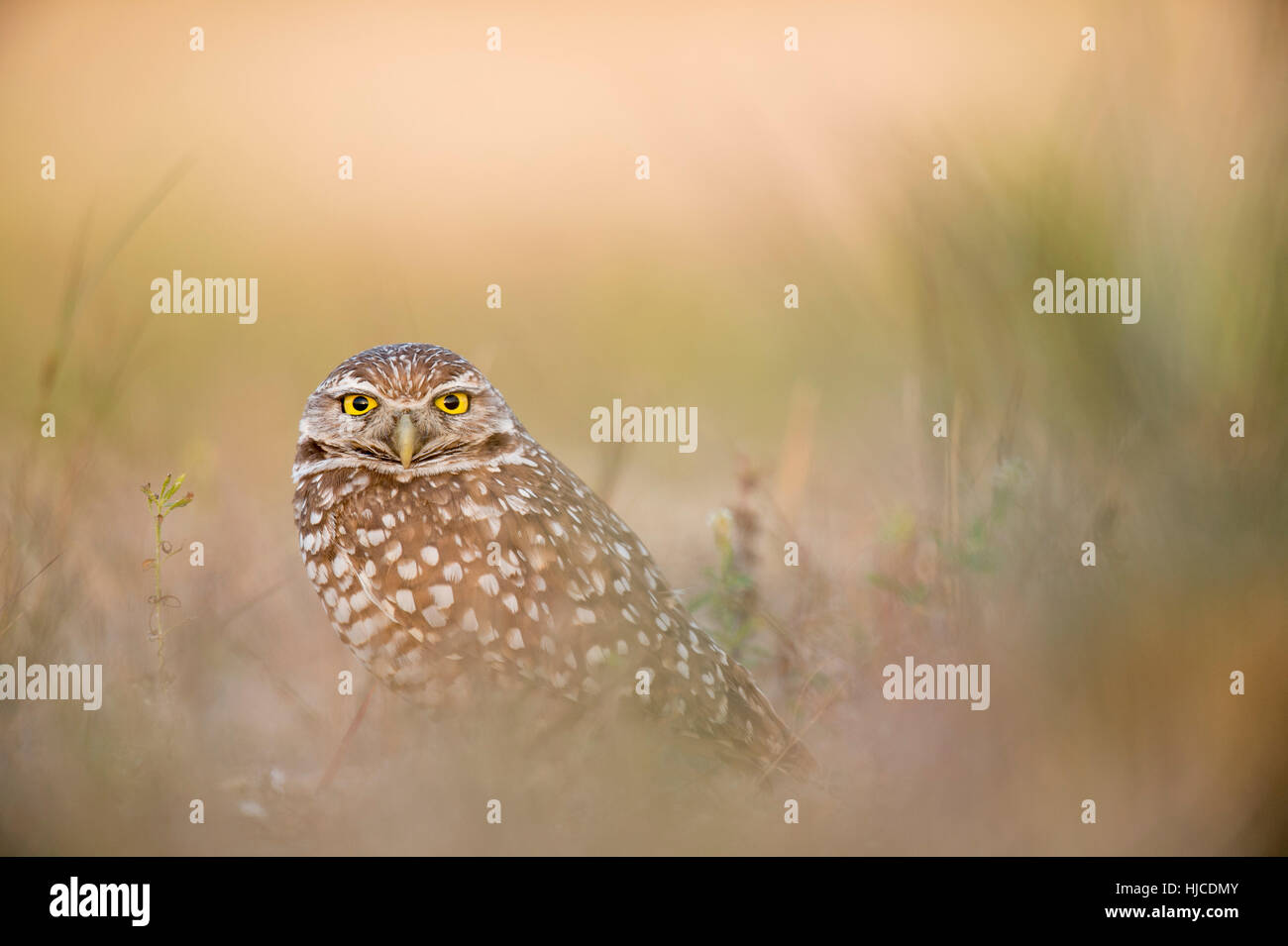 A Florida Burrowing Owl looks on with its bright yellow eyes on a sunny evening. - Stock Image