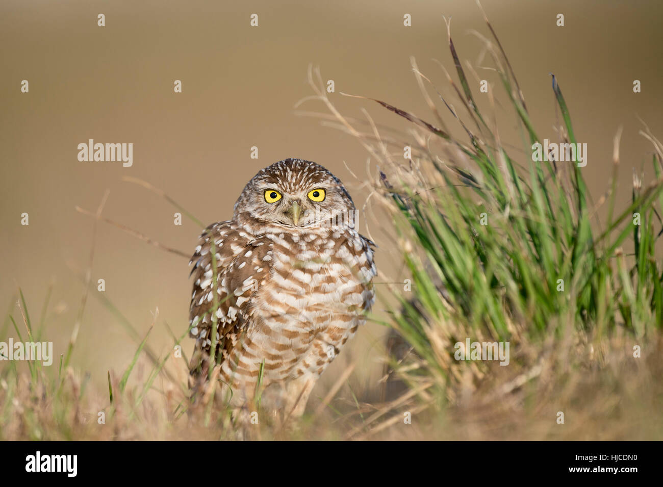 A Florida Burrowing Owl fluffs its feathers out ast it stands next to clump of tall green grass in an open field. - Stock Image