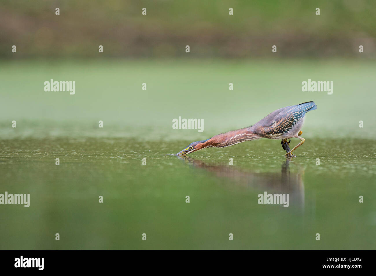 A Green Heron strikes out at prey in a small pond with the surface of the water reflecting green. - Stock Image