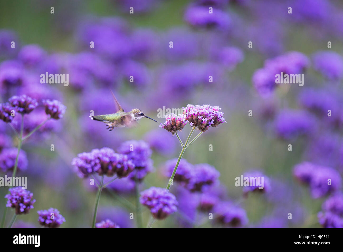 A Ruby-throated Hummingbird hovers in front of a bright purple flower in a garden filled with flowers. - Stock Image