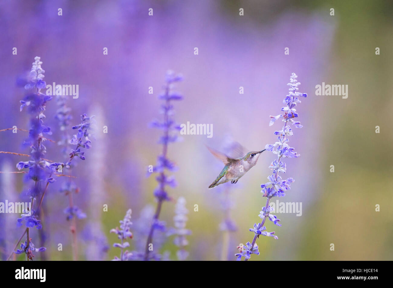 A female Ruby-throated Hummingbird feeds on some purple flowers early in the morning before the sun has even started - Stock Image