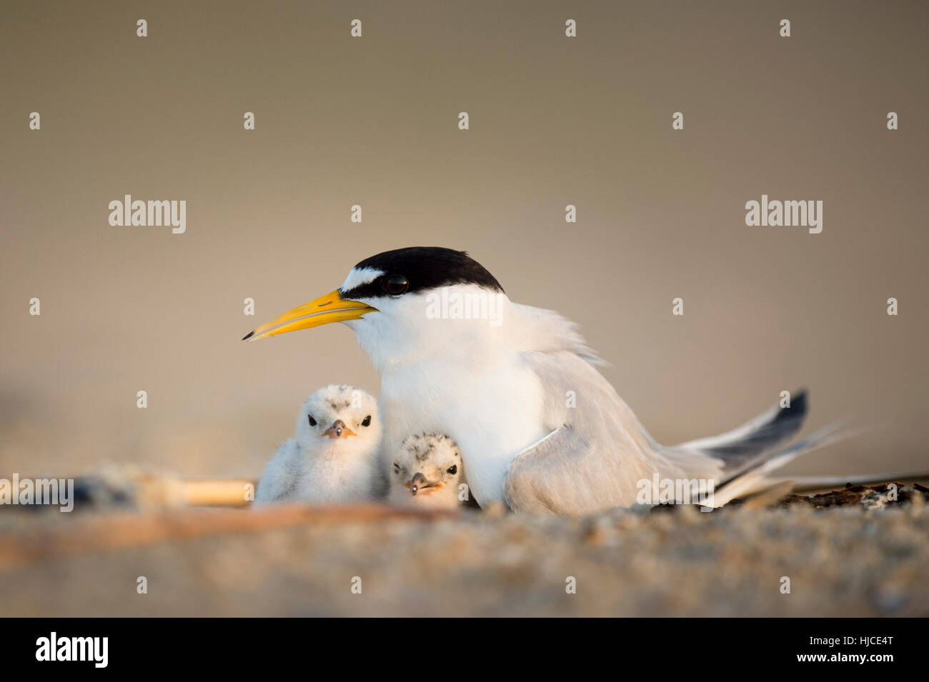 A pair of Least Tern chicks huddle in under their parent on the nest on a sandy beach early in the morning. - Stock Image