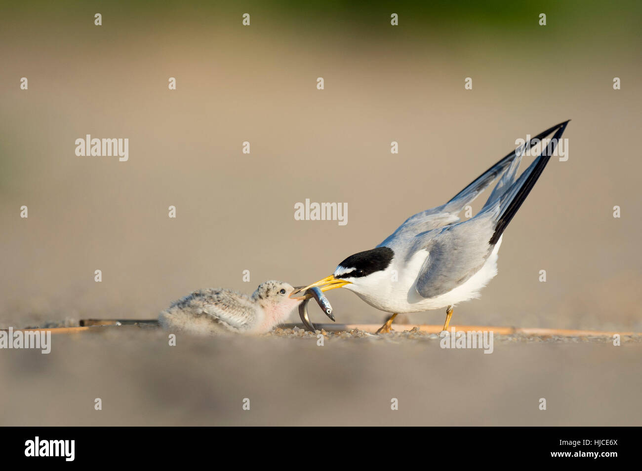 An adult Least Tern feeds its chick a Sand Eel on the beach in the early morning sunlight. - Stock Image