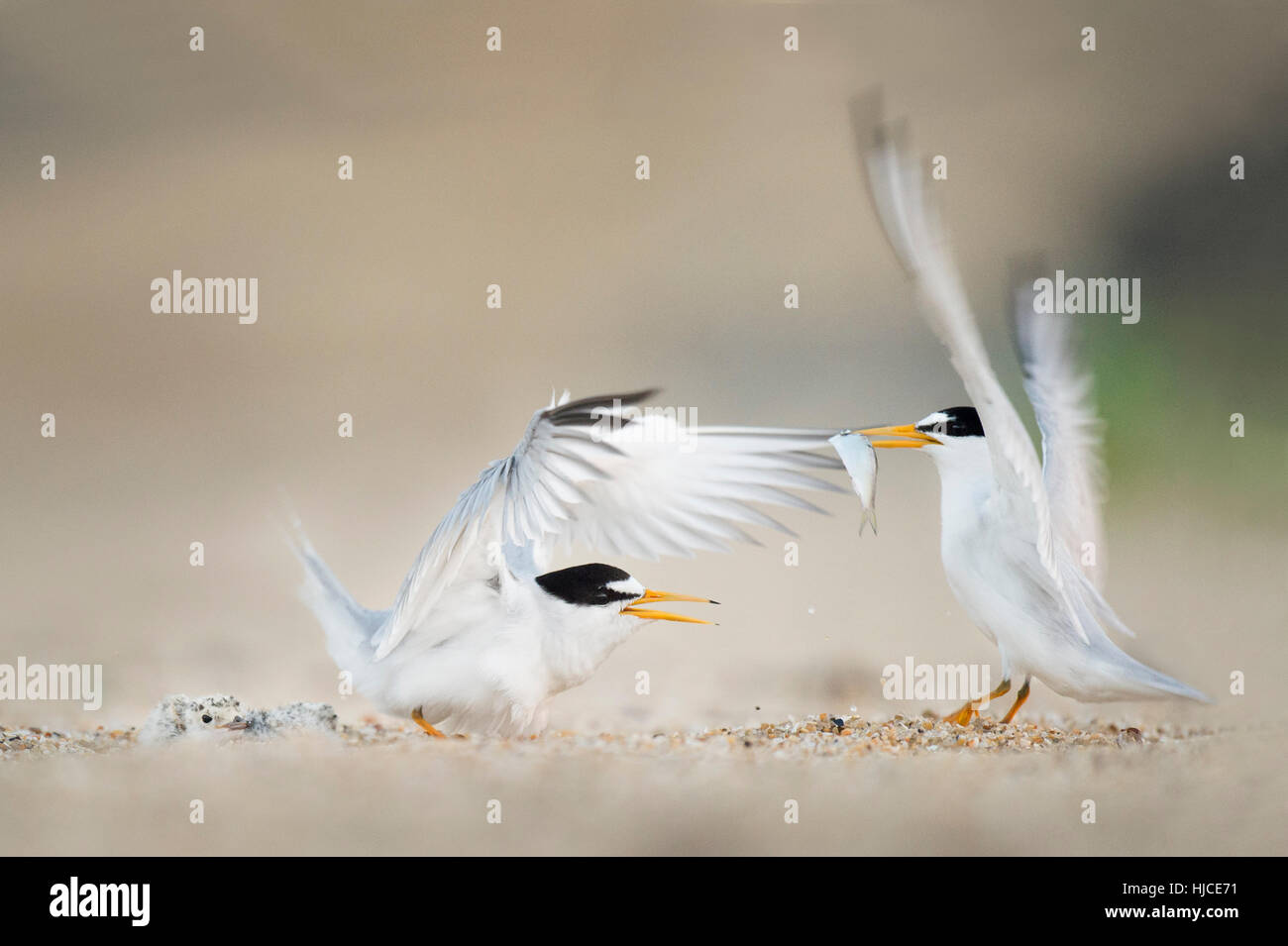A pair of adult Least Terns flap their wings at each other while one of them holds a fish and the other bird protects - Stock Image