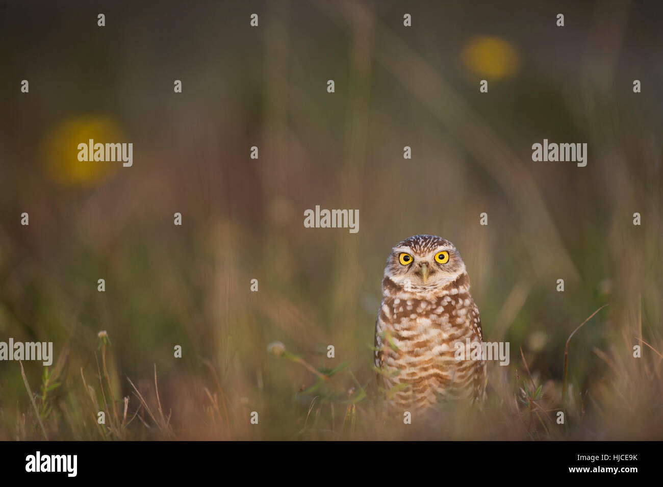 A Florida Burrowing Owl stands in an open field with a couple of yellow flowers in the background. - Stock Image