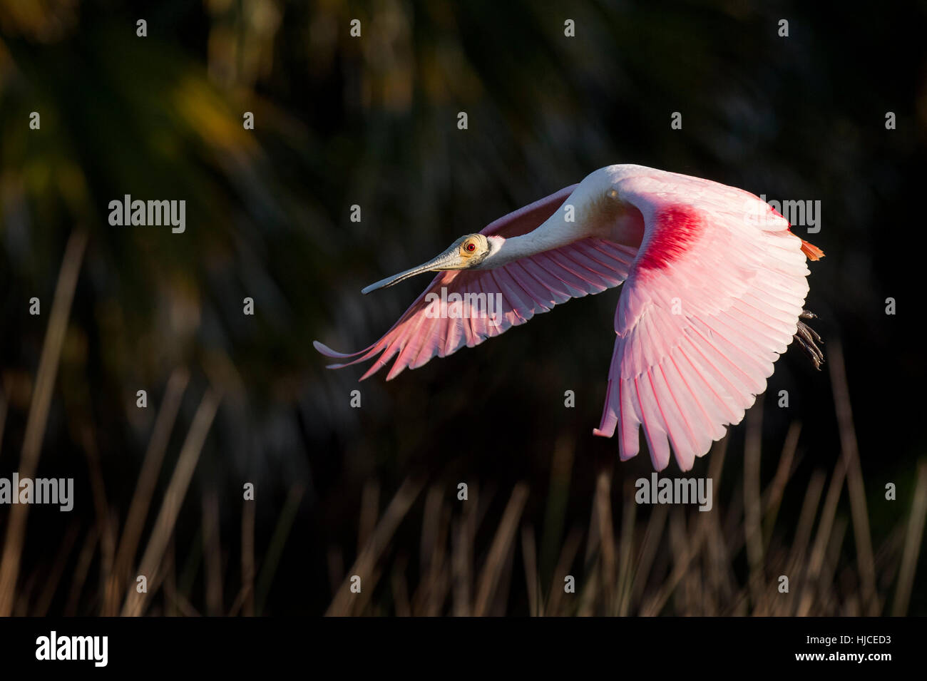 A Roseate Spoonbill flies in front of a dark background as the early morning sun lights up its bright pink wings. Stock Photo