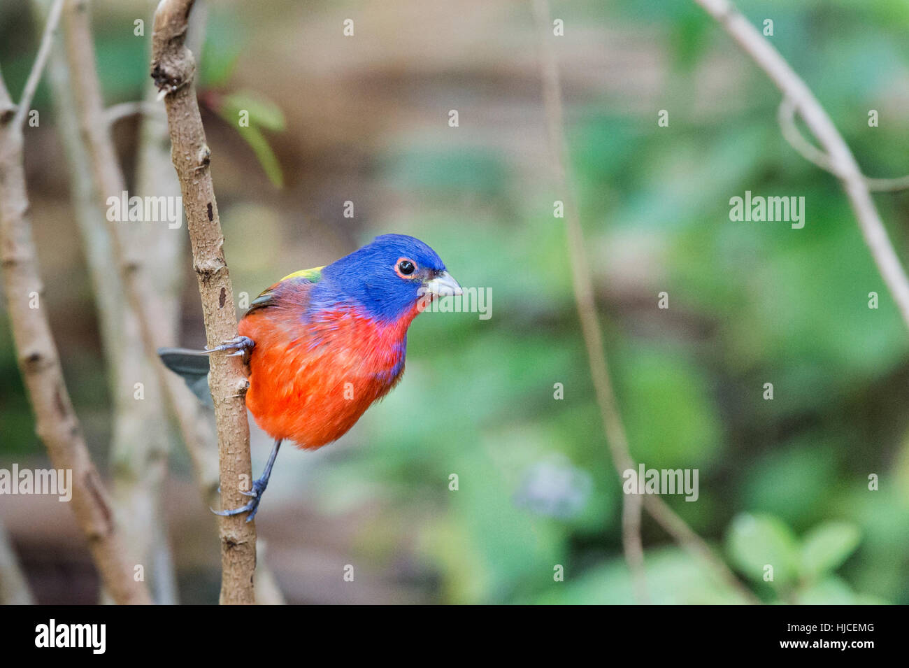A Painted Bunting hangs onto a small branch showing off its brilliant coloration. - Stock Image