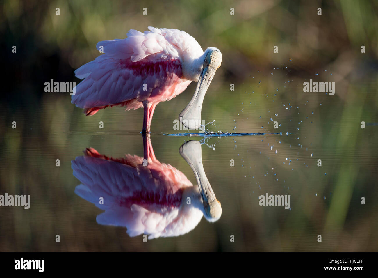 A bright pink Roseate Spoonbill busy preening in the evening sunlight.  It would repeatedly dip its bill into the - Stock Image