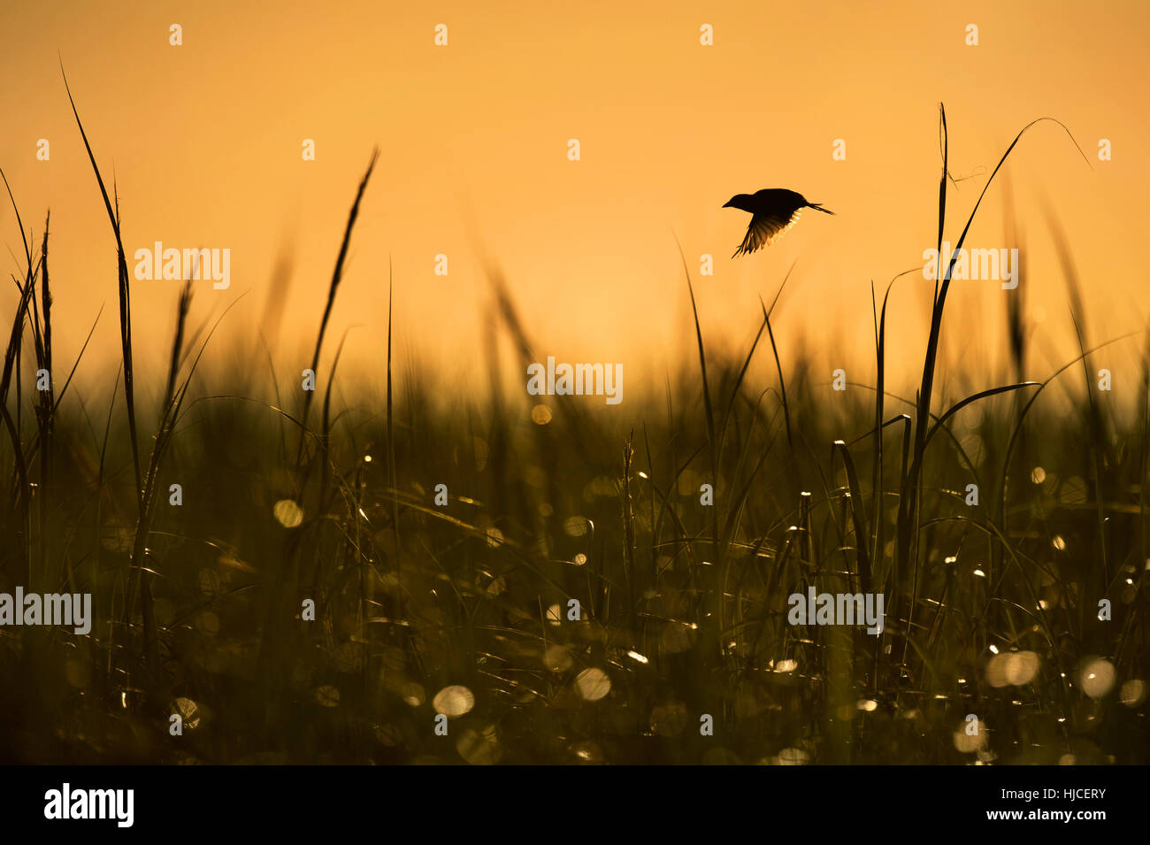 A Seaside Sparrow takes flight early one morning in a field of tall marsh grass with an orange sky background. Stock Photo