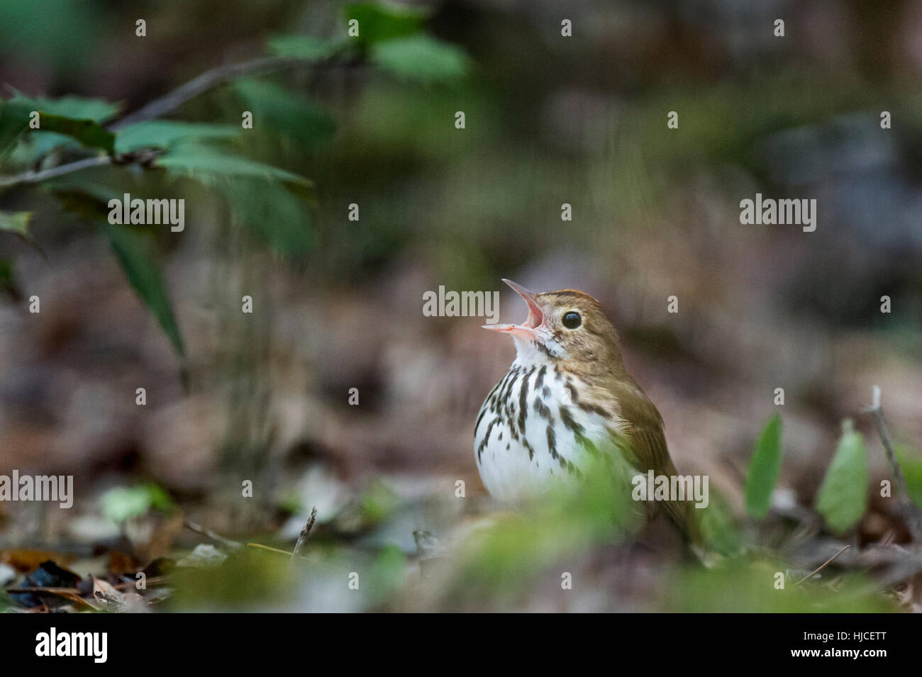 An Ovenbird sings loudly as it sits on the forest floor with some green leaves around it. - Stock Image