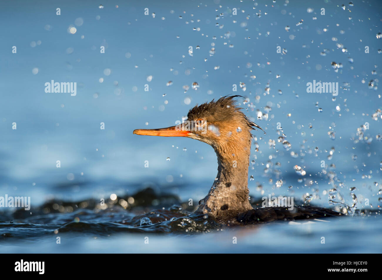 A Red-breasted Merganser swims in the bright blue water and creates a large splash of water. - Stock Image