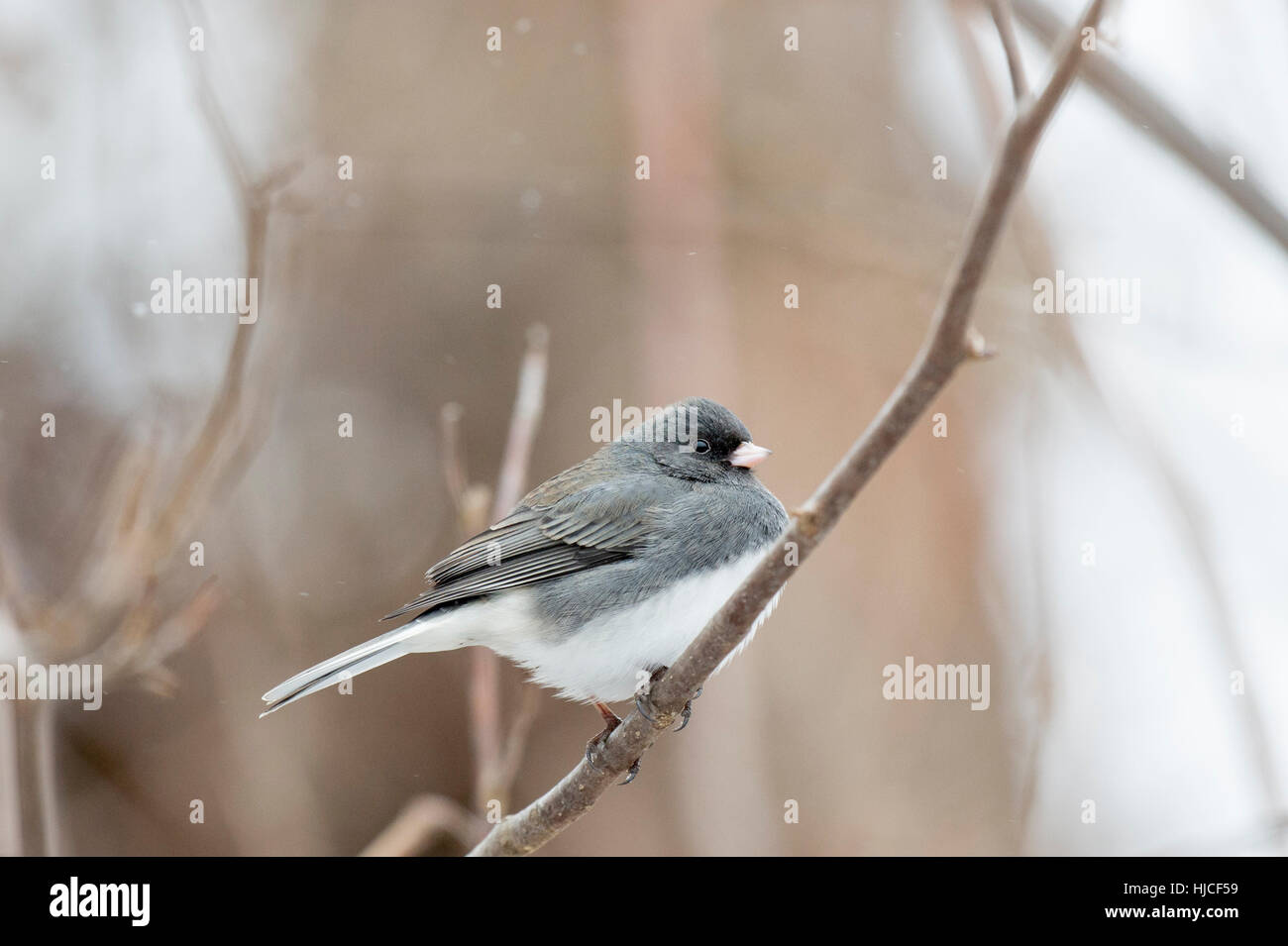 A Dark-eyed Junco perches on a branch during a light snowfall. Stock Photo