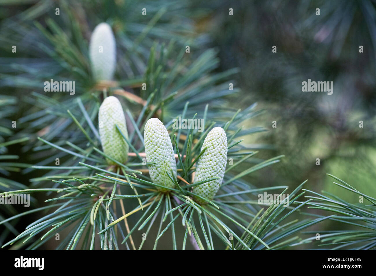 Cedrus deodara cones. Himalayan Cedar close up. - Stock Image