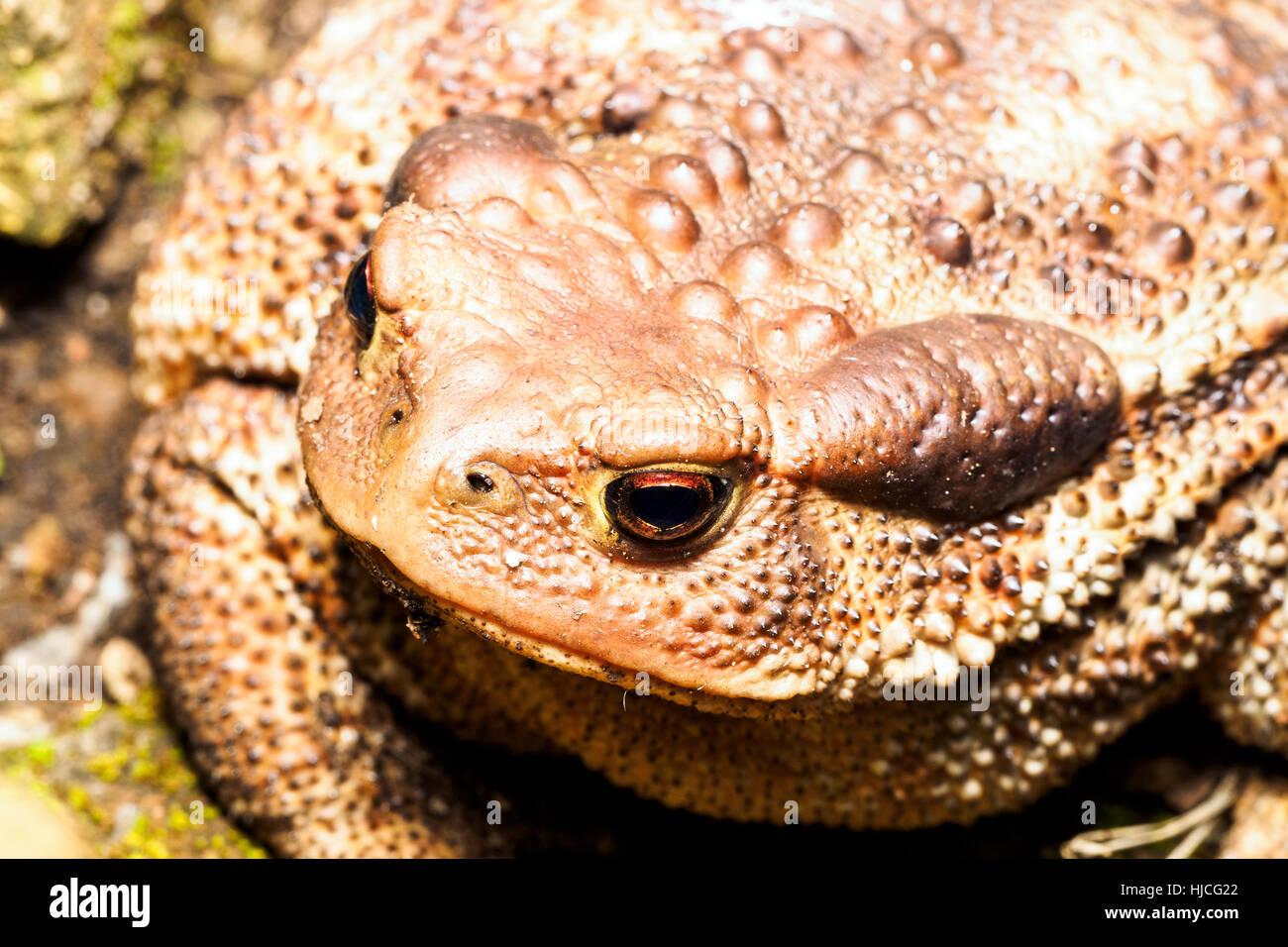 European common toad (Bufo bufo spinosus) - Umbria, Italy - Stock Image