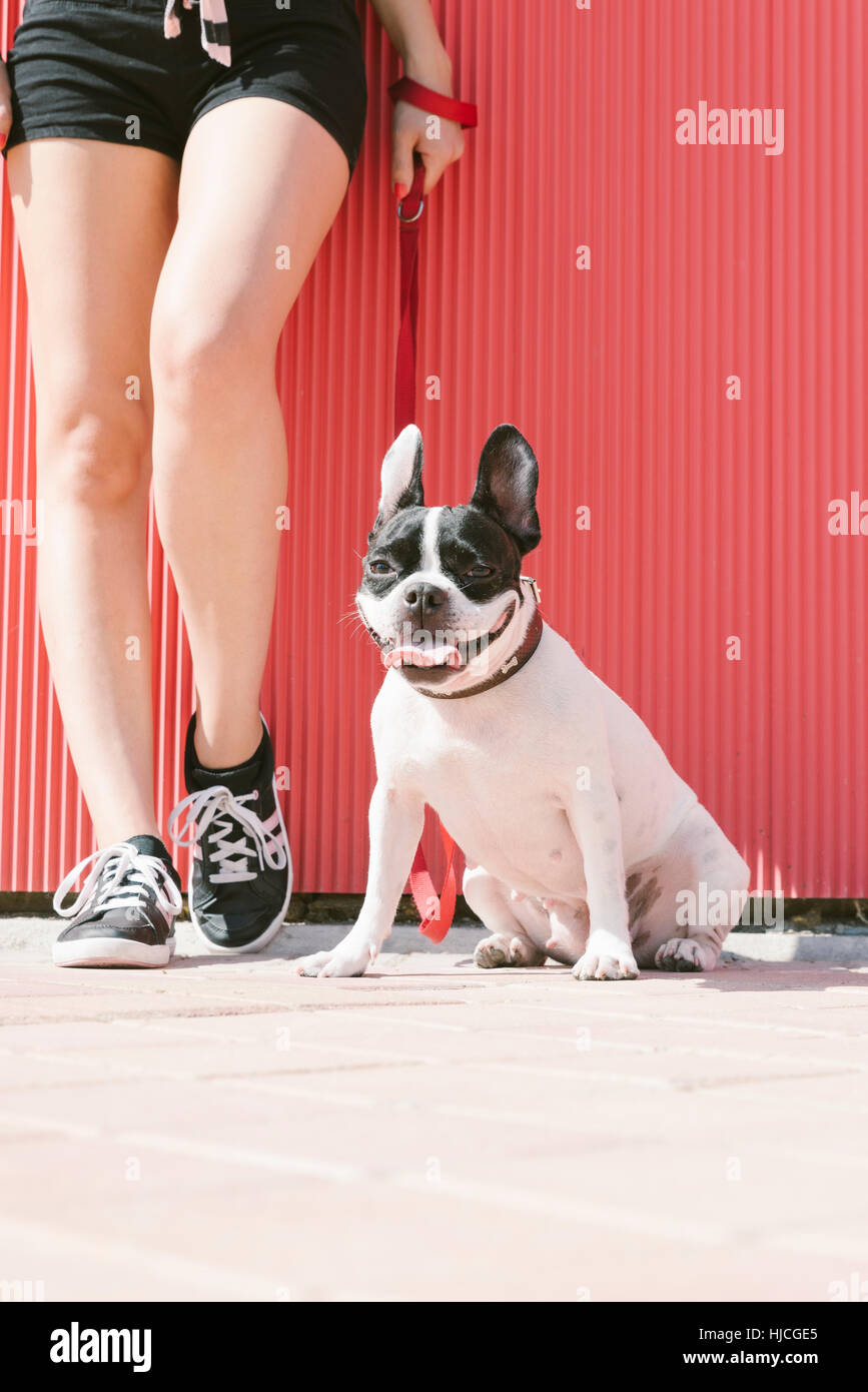 Happy woman are sitting with french bulldog on yellow wall - Stock Image