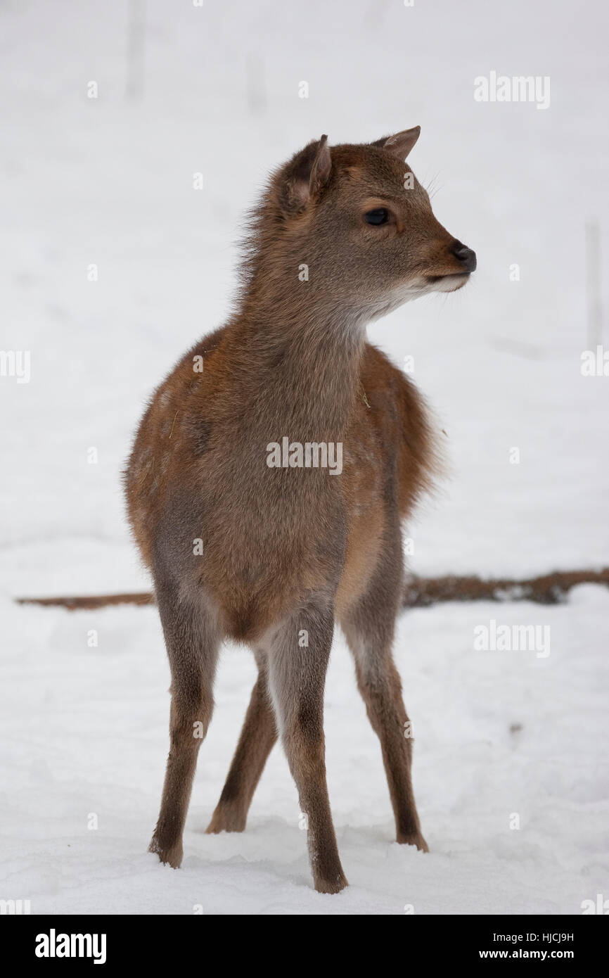 Sika, Sika-Hirsch, Sikahirsch, Sikawild, Sika-Wild, Jungtier, Cervus nippon, sika deer - Stock Image