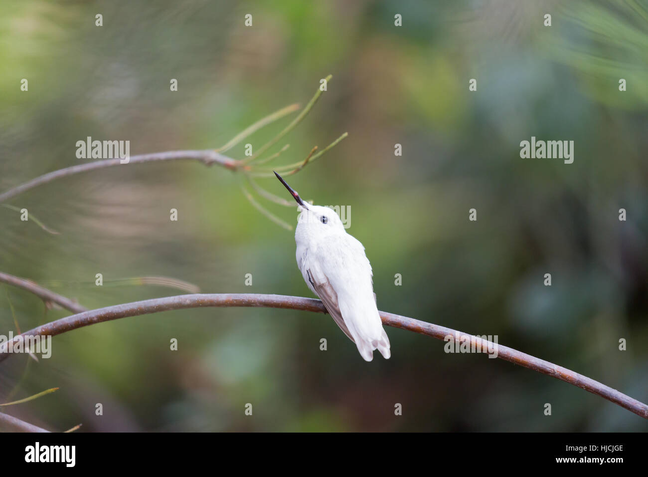 Rare Leucistic Anna's Hummingbird (Calypte anna) perched on a branch. - Stock Image