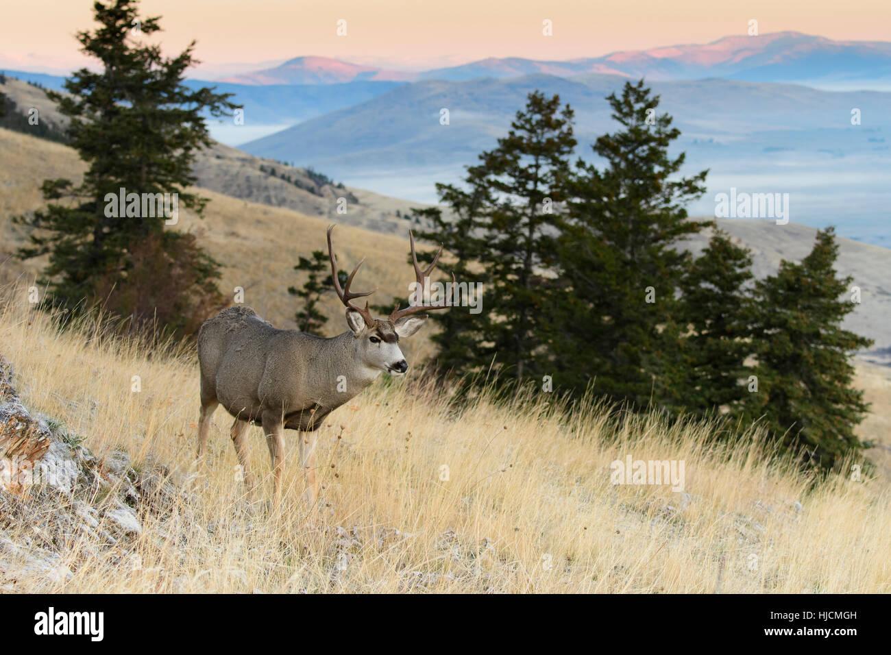 Mule Deer Buck (Odocoileus hemionus), Western North America - Stock Image