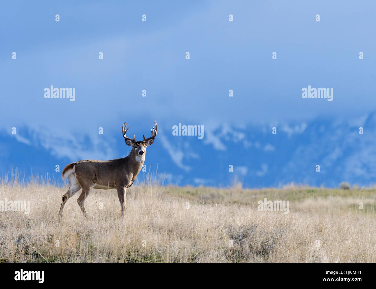 White-tail Buck (Odocoileus virginianus) in front of cloud covered mountains, Western North America - Stock Image