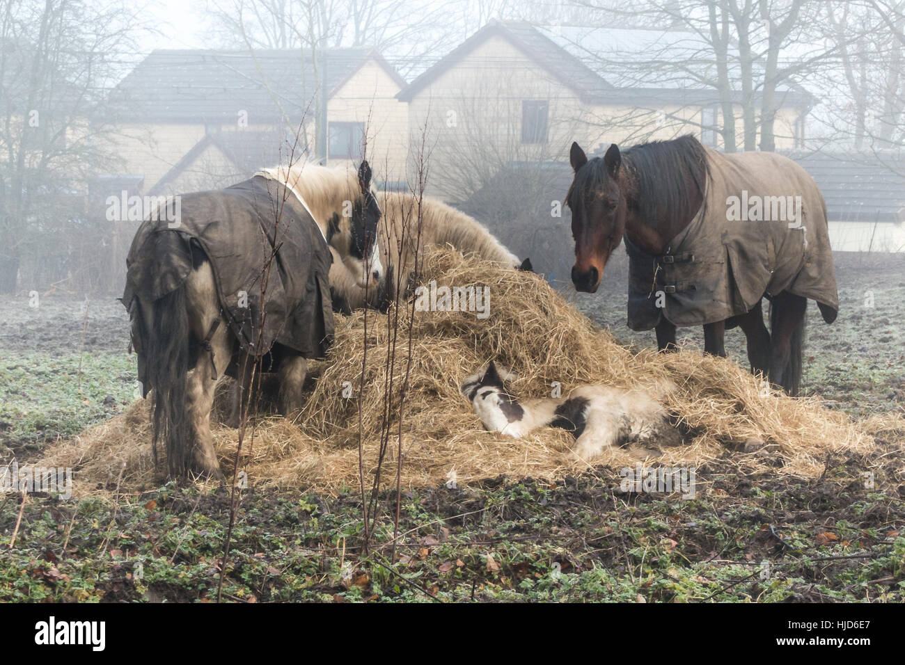 Burley-in-Wharfedale, West Yorkshire, UK. 23rd January 201y.  Young horse tucks itself up in its food supply to - Stock Image