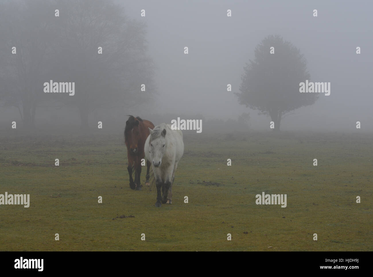 Godshill, New Forest, Hampshire, UK. 25th Jan, 2017. Thick fog returns to the National Park for a third day running - Stock Image