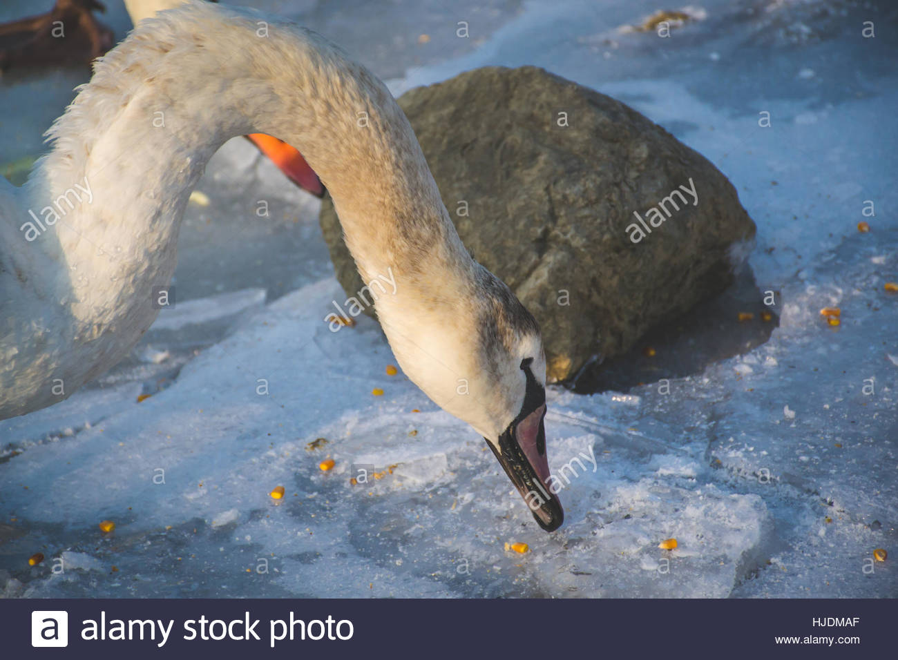 Swans and winter.  Snow and ice around the swans. Swans are birds of the family Anatidae within the genus Cygnus. Stock Photo