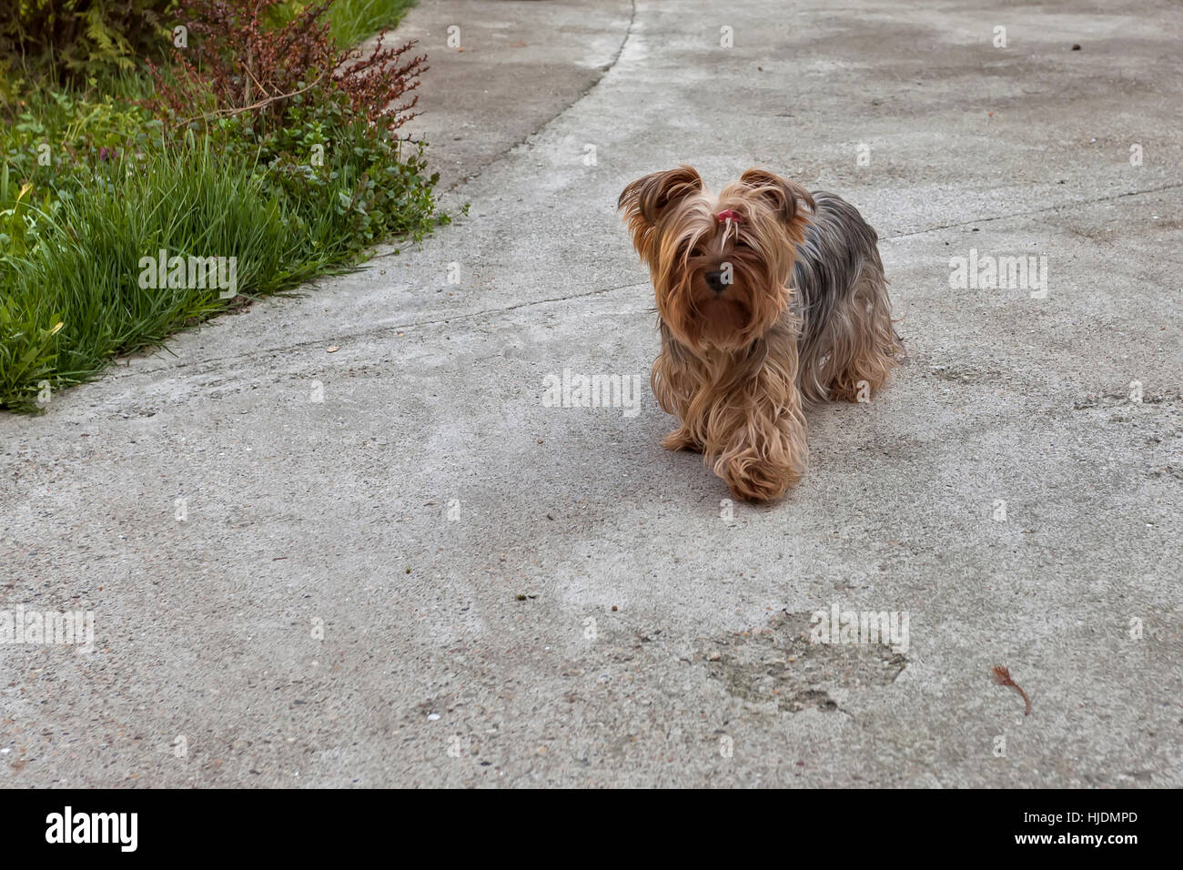 A little fluffy dog in the backyard - Stock Image