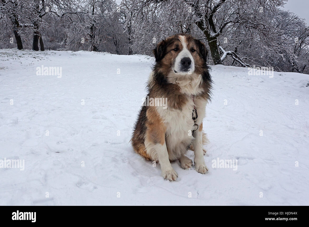 Guard dog in the yard covered with snow - Stock Image