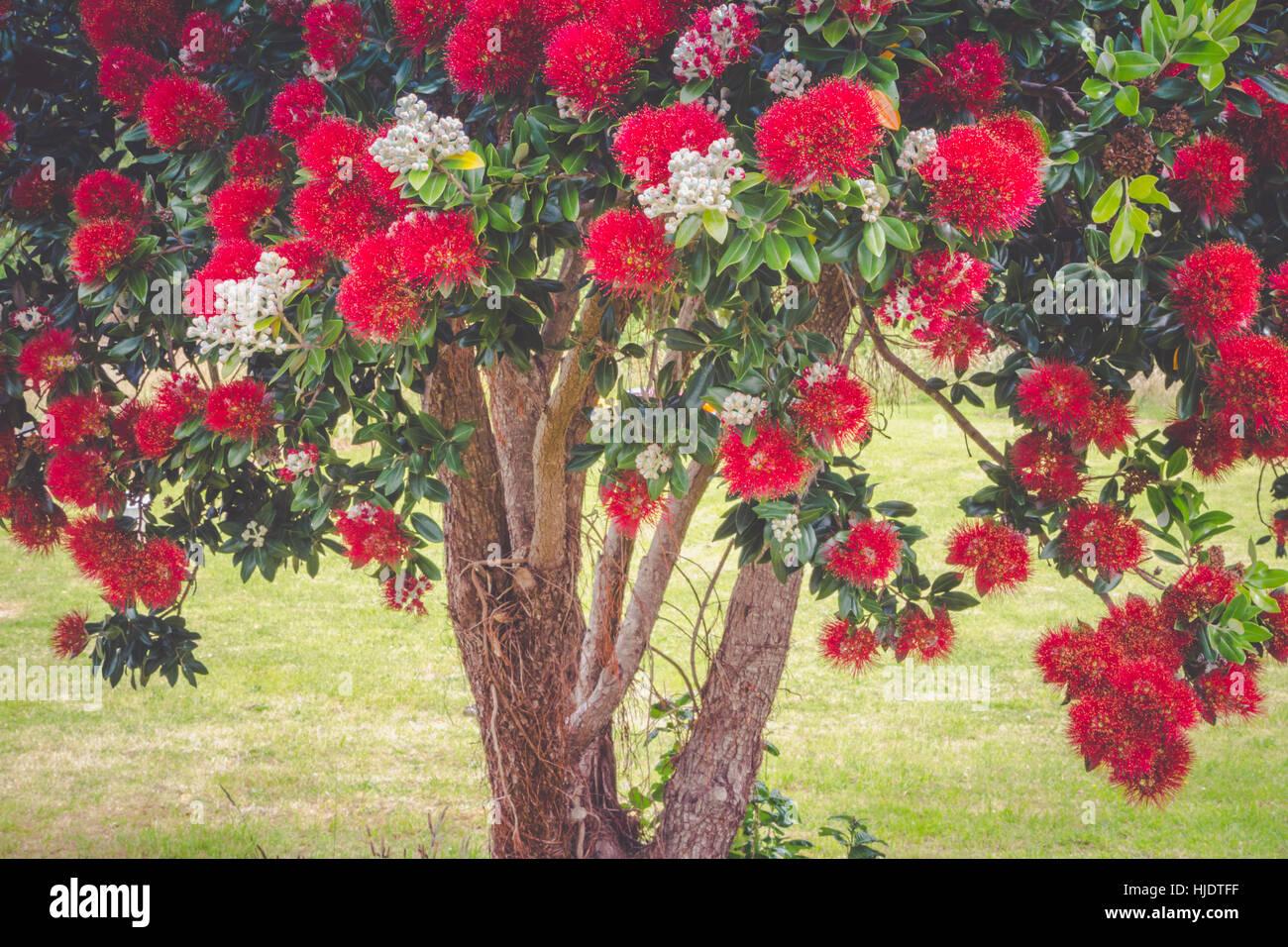 pohutukawa tree blooming in summer season in new zealand. pohutukawa