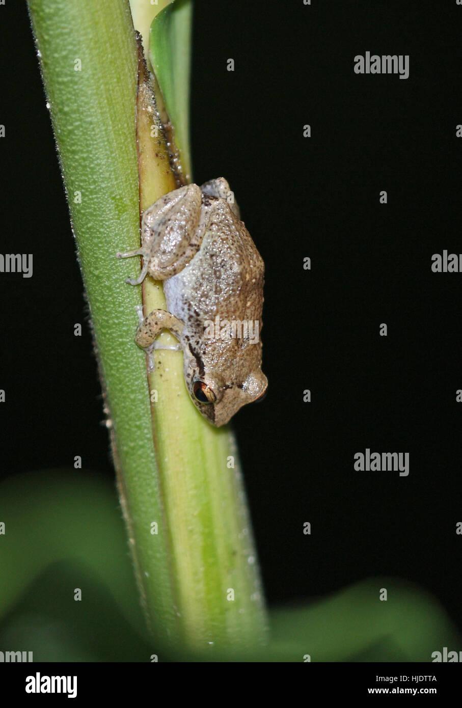 Lesser Antillean Whistling Frog (Eleutherodactylus johnstomei)   Fond Doux Plantation, St Lucia, Lesser Antilles - Stock Image