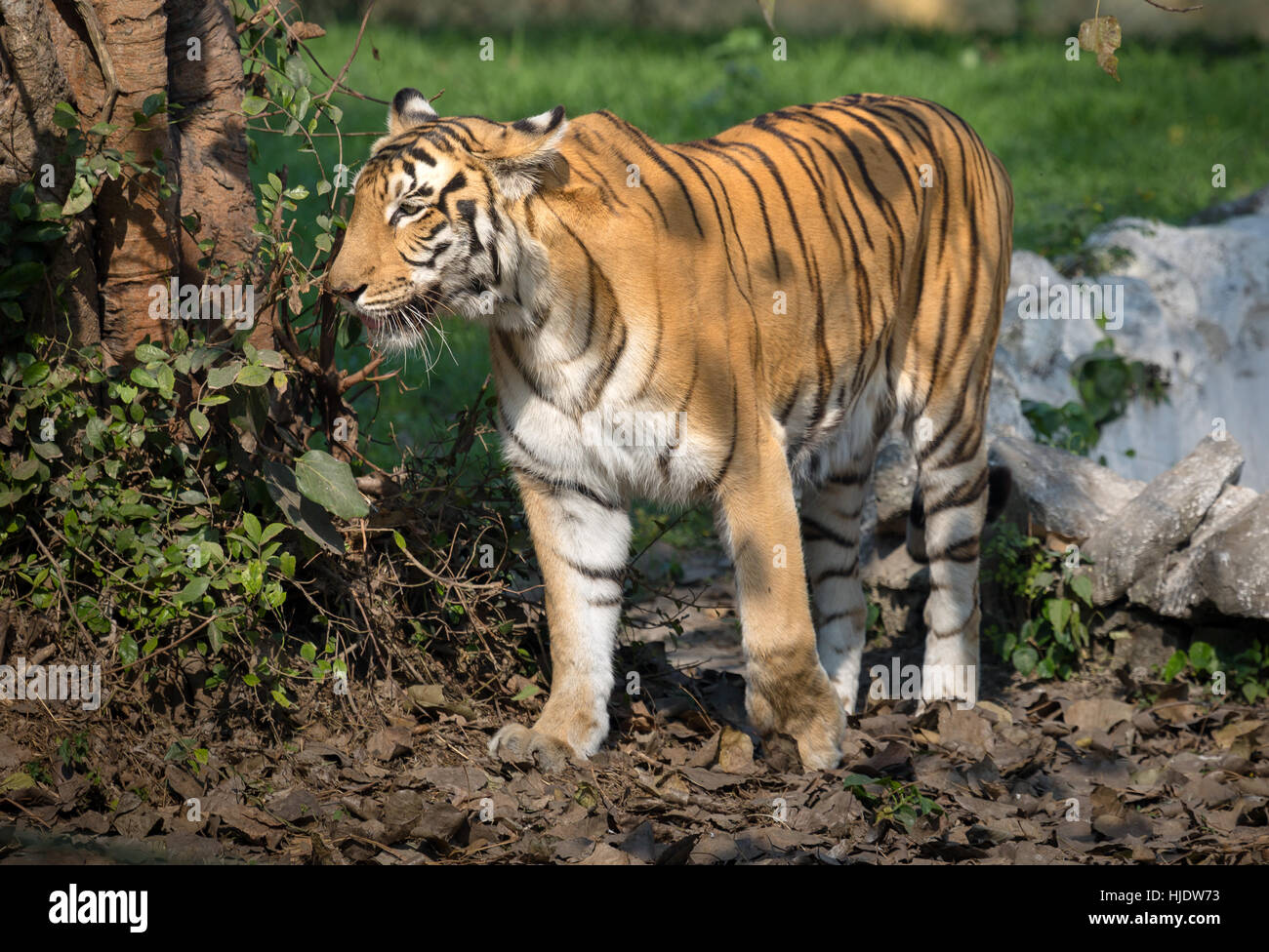 Royal Bengal tiger at an enclosure in an animal and wildlife sanctuary in India. - Stock Image