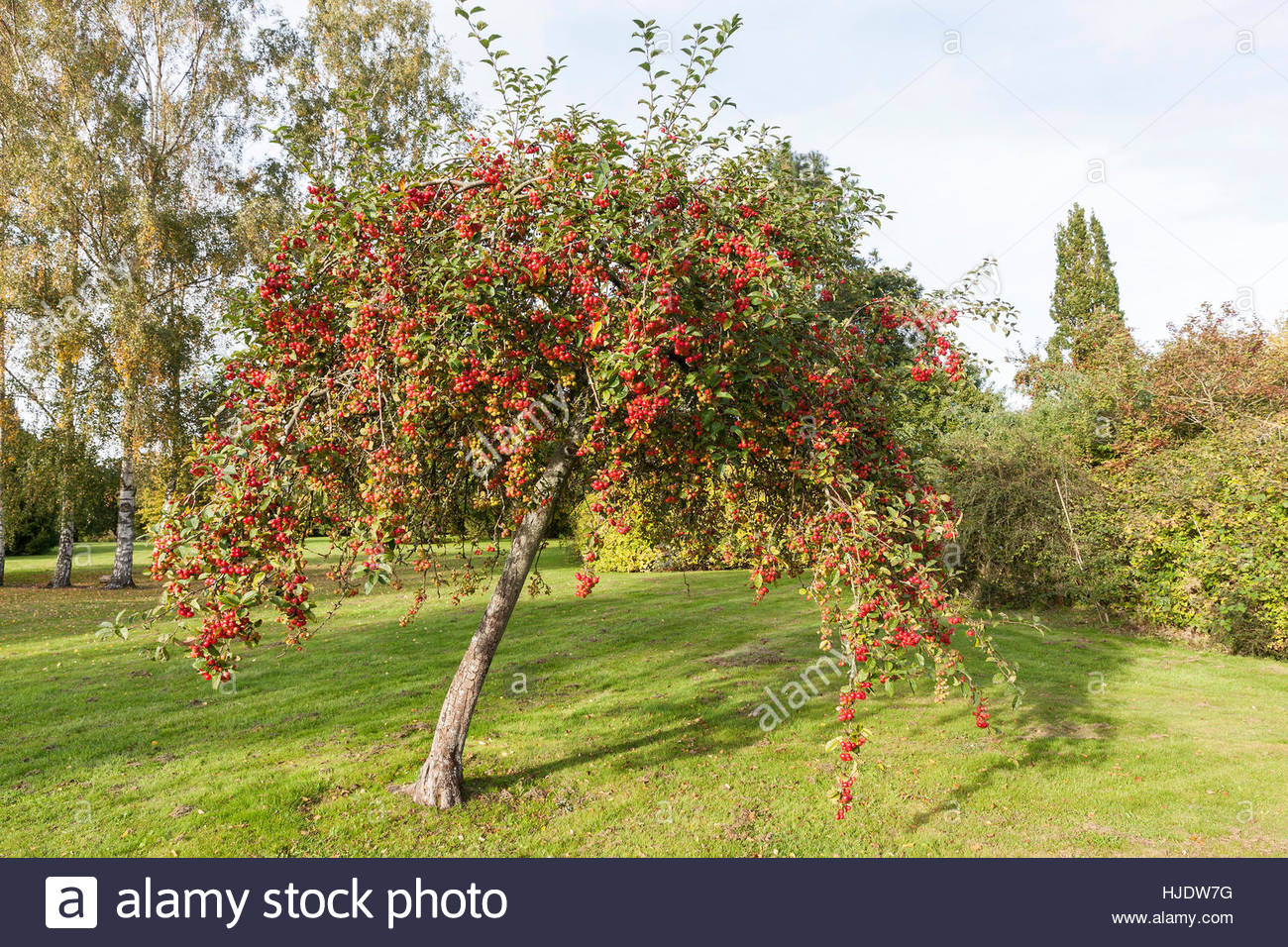 malus 39 red sentinel 39 crabapple stock photo 131841572 alamy. Black Bedroom Furniture Sets. Home Design Ideas