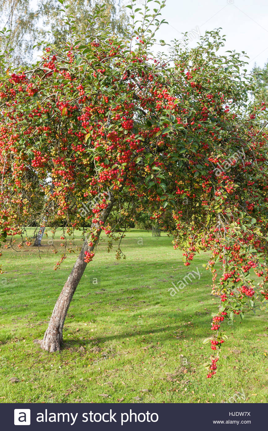 malus 39 red sentinel 39 crabapple stock photo 131841582 alamy. Black Bedroom Furniture Sets. Home Design Ideas