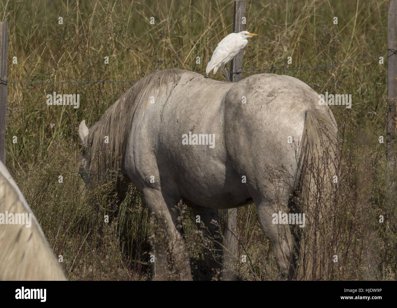 Cattle Egret, Bubulcus ibis, on the back of Camargue, White Horses, Camargue, France. Stock Photo