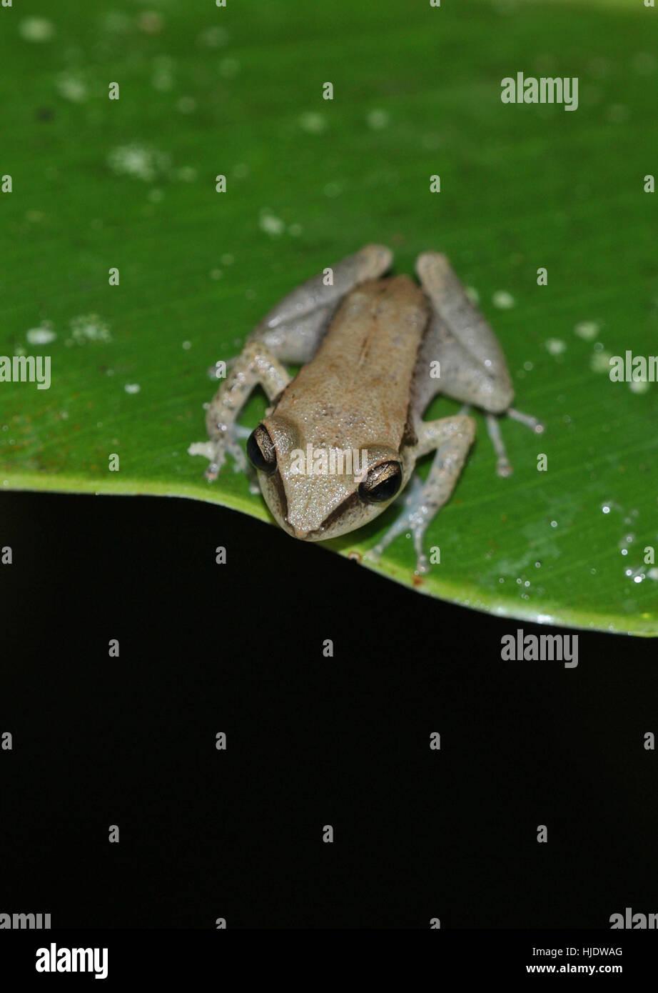 Tree Frog (Hyla rubra) young adult on leaf  Fond Doux plantation, St Lucia, Lesser Antilles       November - Stock Image