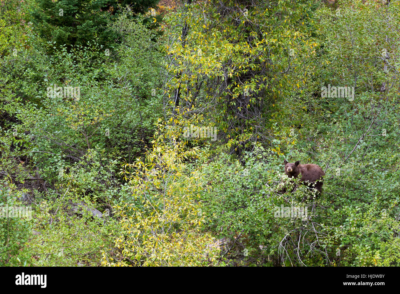 A black bear pausing from eating hawthorne berries along the Phelps Lake Trail. Grand Teton National Park, Wyoming - Stock Image