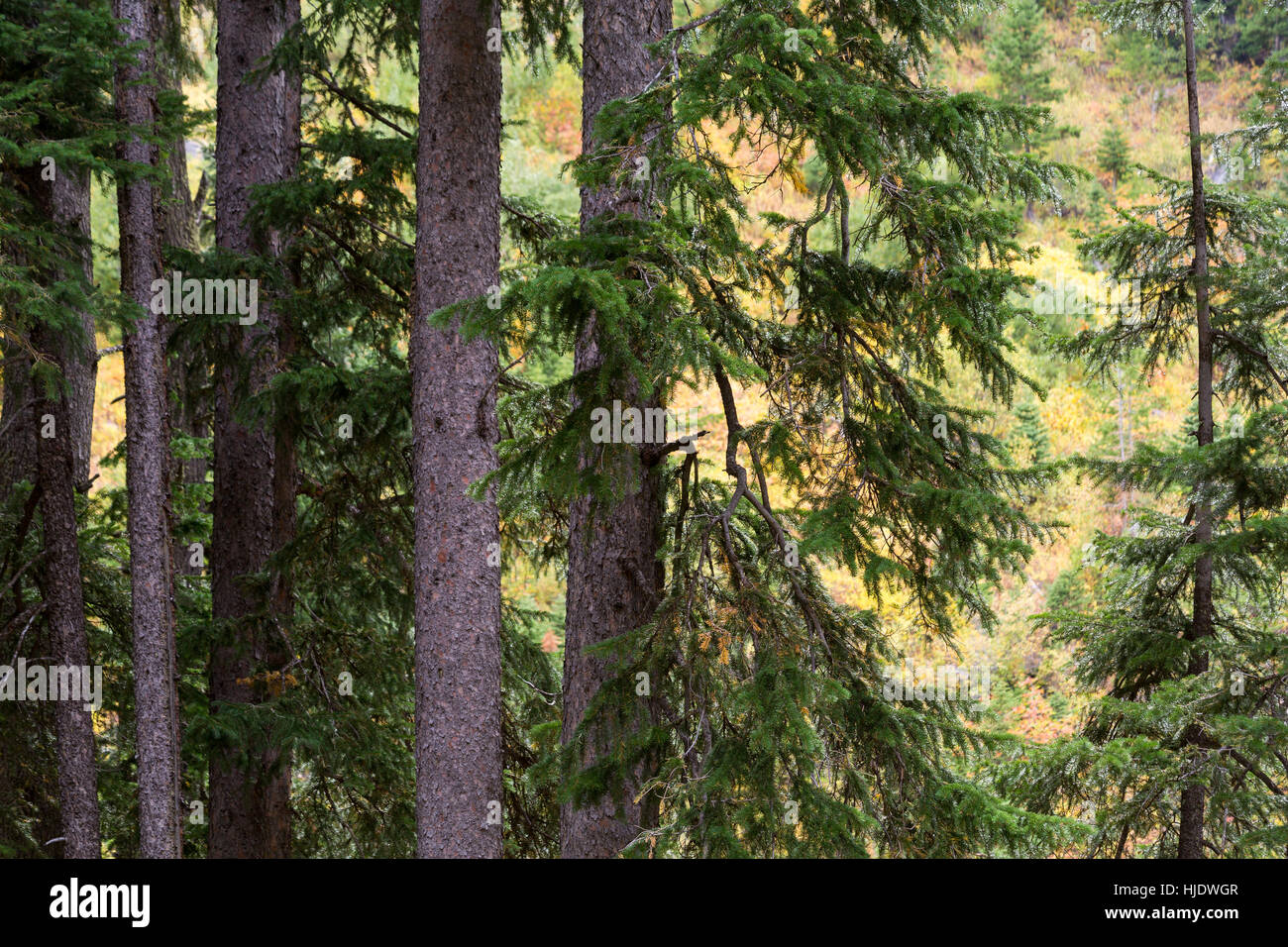 Ground leaves changing for fall behind firs and evergreen trees in the Teton Mountains. Jedediah Smith Wilderness, - Stock Image