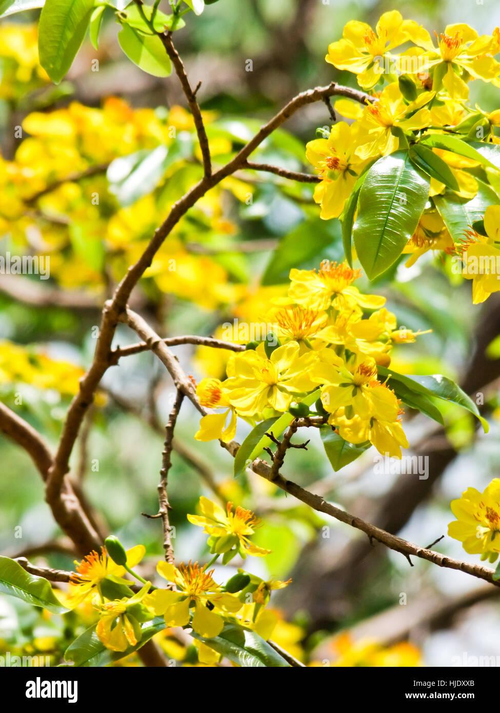 Cassod tree and thai copper pod stock photos cassod tree and thai food aliment tree trees flower plant leaves flowers mightylinksfo