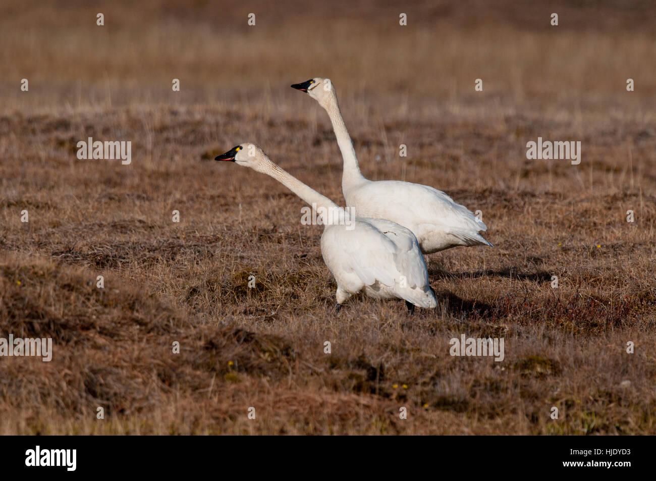 Tundra swans ready to take flight on the Alaskan tundra near Barrow Alaska - Stock Image