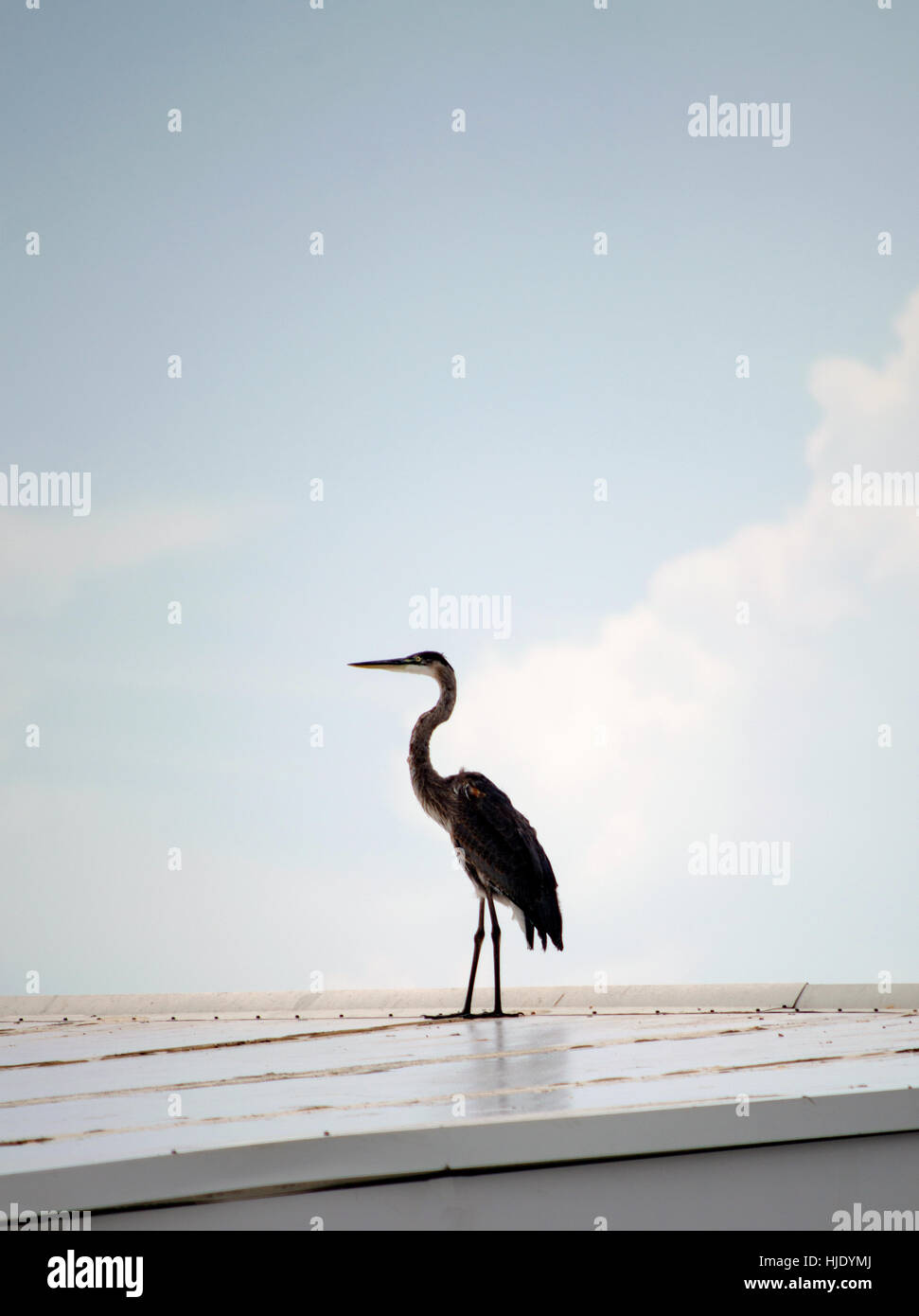 A crane bird sitting on a metal roof against a blue sky. - Stock Image