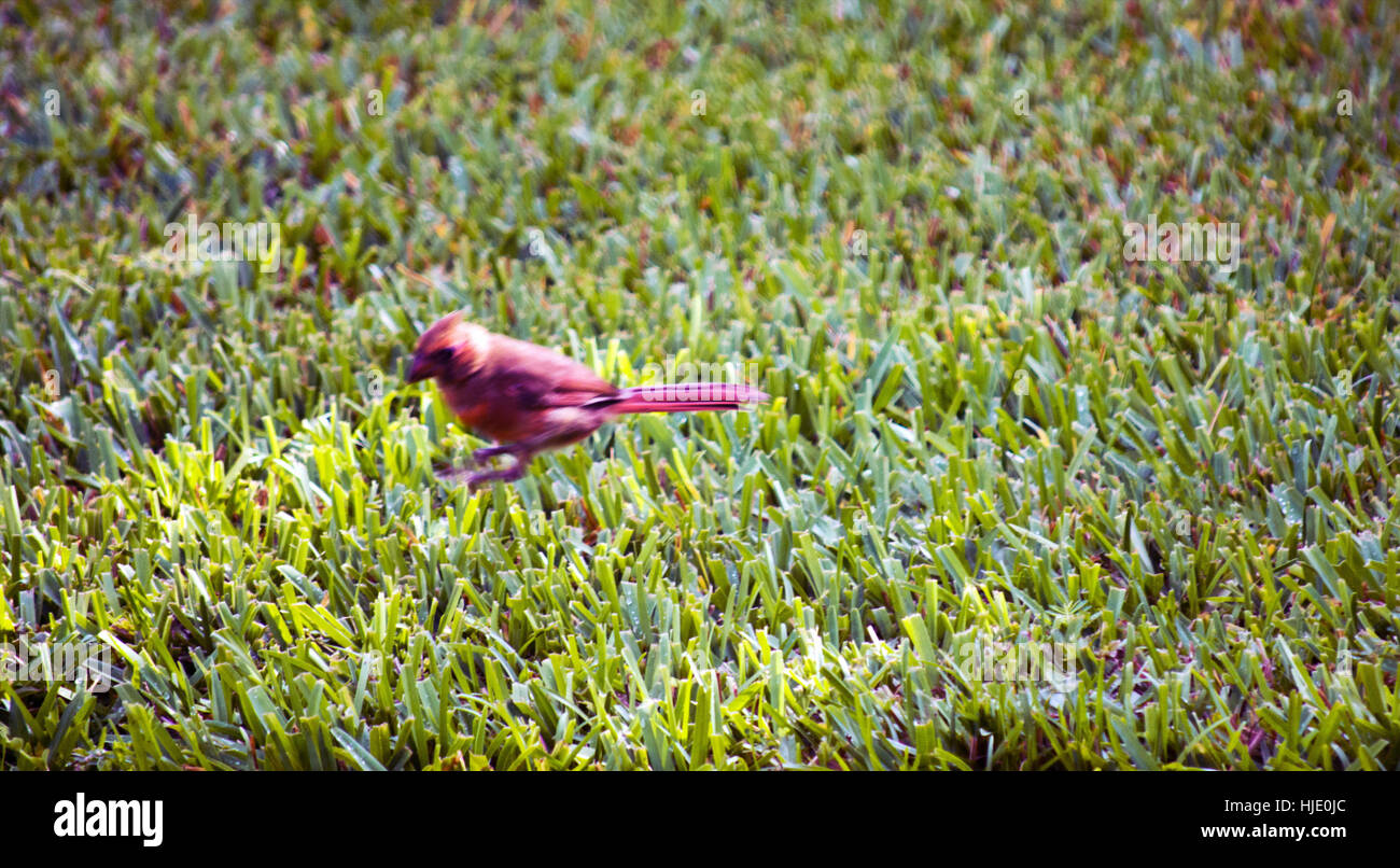 A  slightly blurred red cardinal hopping across grass. - Stock Image