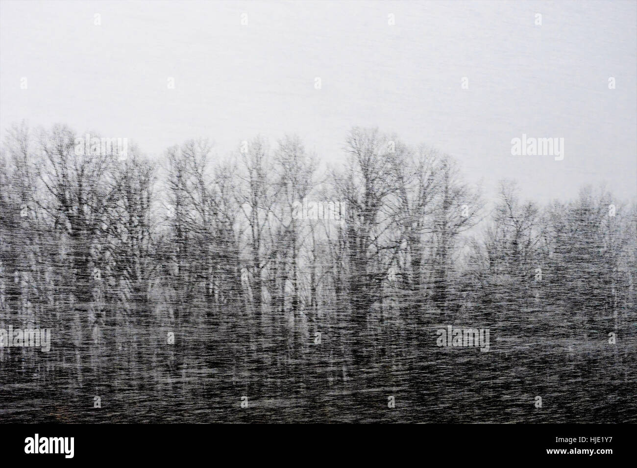 Snow whirling past a forest of leafless trees in a snowstorm. - Stock Image